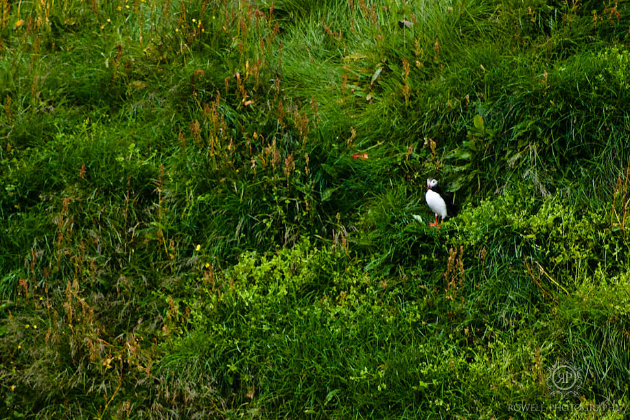 one last lonely puffin iceland Destination Iceland Honeymoon